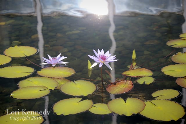 Water Lilies, Photography