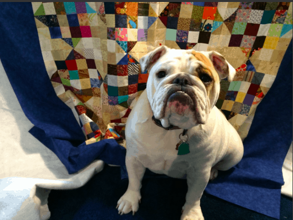Meg Tison's English Bulldog, Bailey