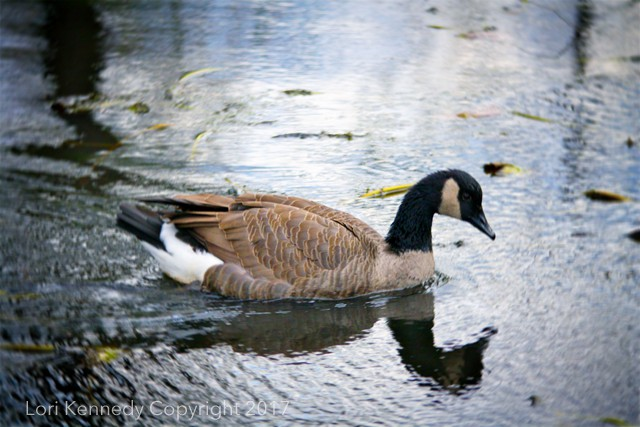 Canadian Goose, Reflections