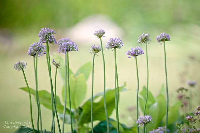 Allium, Purple Flowers