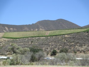 One block of Bien Nacido Vineyard, near Santa Maria in Santa Barbara County