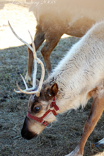 This Reindeer is Not Rudolph