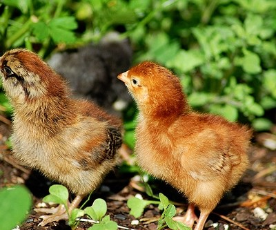 The Royal Chickens