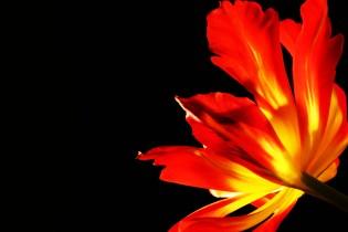 tulipNegSpace_268_OK