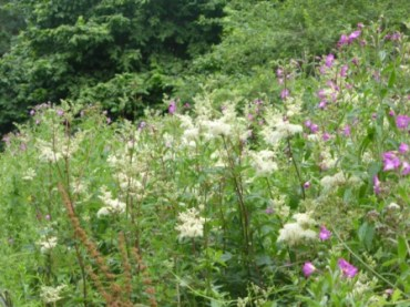 Meadowsweet and willowherb