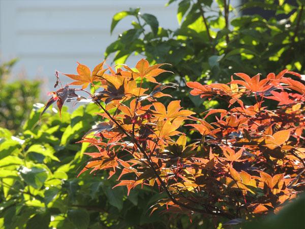 Leaves-in-sunlight