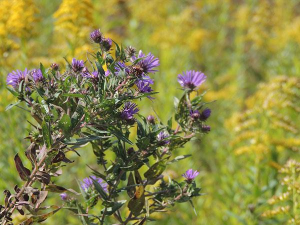 purple-wild-flower