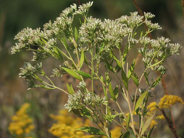 white-wild-flower