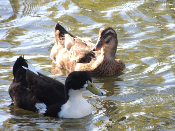 Clyde and Truman as Ducks