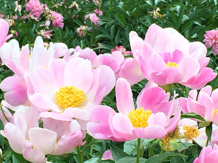 pink-flowers-on-the-walk