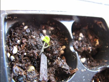 a wee basil coming up