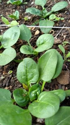 Yum yum spinach