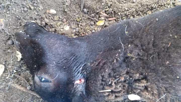 Hay alerta por muerte de caprinos en García Rovira ¿un chupacabras? ¿pumas? (fotos)