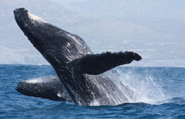 Cabo Expeditions Whale Watching