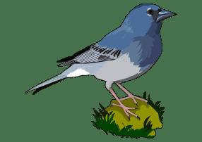 Pinzon-Azul