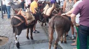 Romería de los Burros - San Benito Abad- La Laguna 2015 (4)