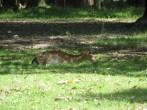 Ya llegando a la pajarera nos encontramos a un ciervo totalmente libre y descansando plácidamente a la sombra