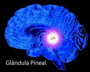 En centro del cerebro está situada la pequeña Glándula Pineal.