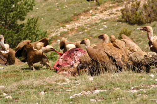 Vultures eating a red deer in Spain
