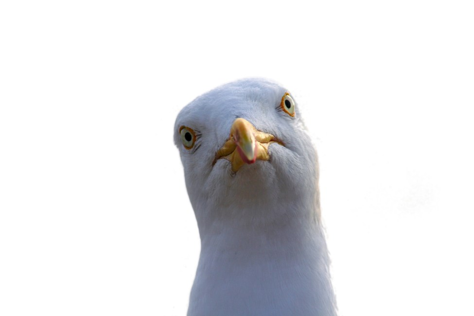 Seagull staring at the camera
