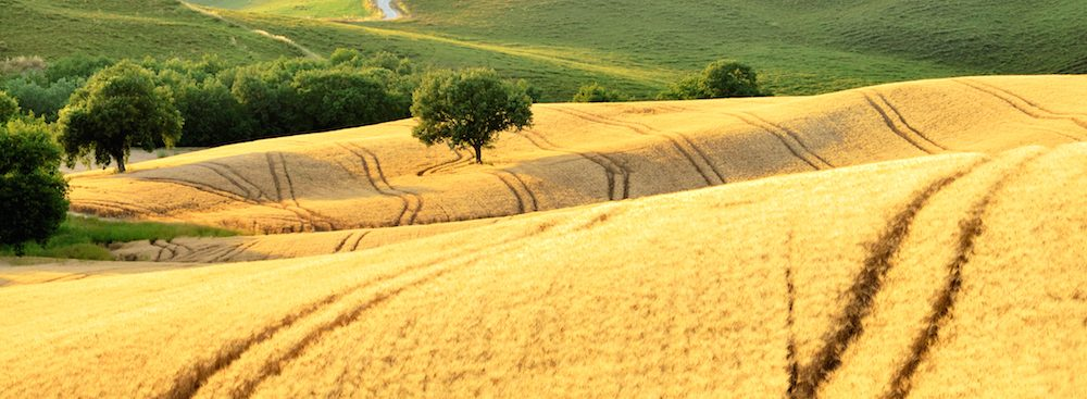 italian-barley-field-of-gold-1000x367