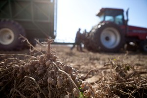 Dalla terra al mercato: la produzione di arachidi in Senegal