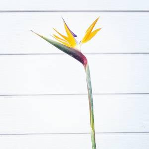 Stelitzia losse bloem