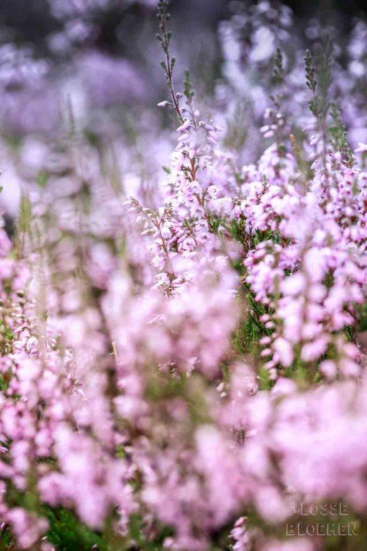 lossebloemen heide park de hoge Veluwe