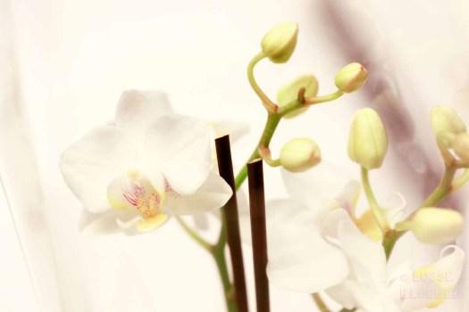 Orchidee lossebloemen welke losse bloemen en planten zijn giftig en welke veilig voor katten