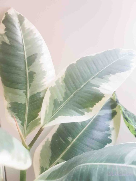Ficus katten lossebloemen welke losse bloemen en planten zijn giftig en welke veilig voor katten