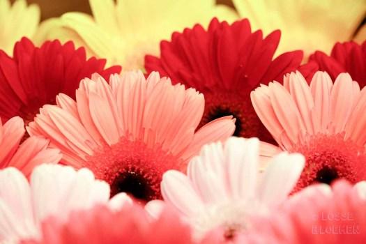 katten Gerbera lossebloemen welke losse bloemen en planten zijn giftig en welke veilig voor katten