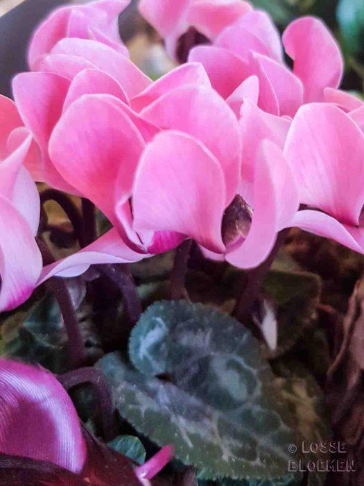 Cyclaam katten lossebloemen welke losse bloemen en planten zijn giftig en welke veilig voor katten