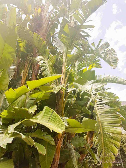 lossebloemen strelitzia plant