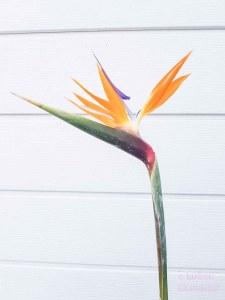 lossebloemen strelitzia