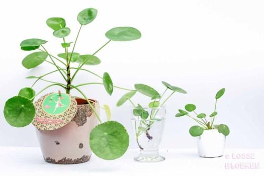 Pilea peperomioides stekken pannenkoekplant