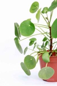 pilea stekjes pilea peperomioides pannenkoekplant babypilea planten in het interieur