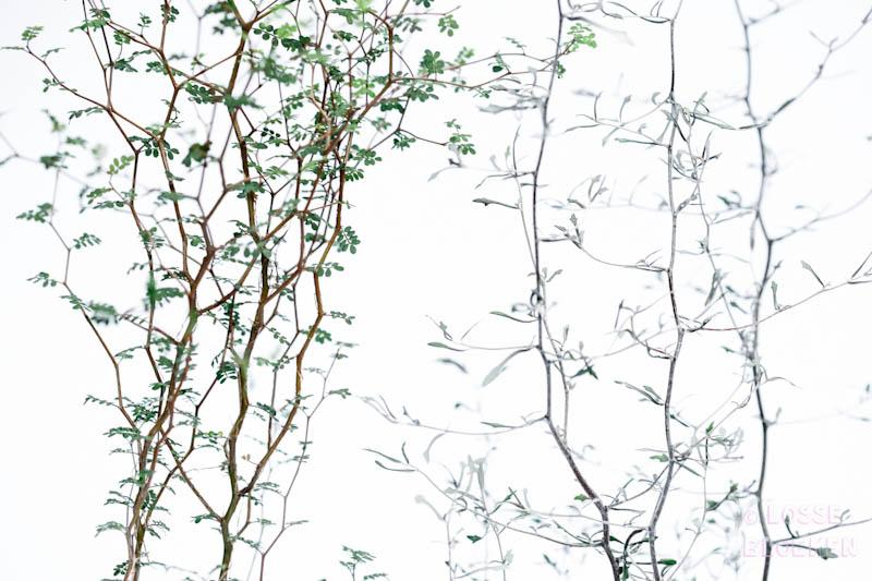 corokia maori bonsai lossebloemen