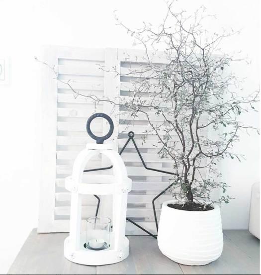 corokia maori bonsai silver lossebloemen