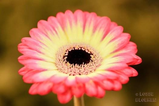 LG flowers gerbera kwekerij lossebloemen.nl choisygerbera