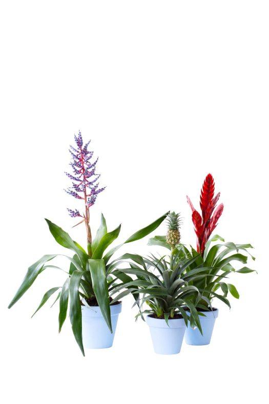 bromelia-beeld-mooiwatplantendoen-welke-planten-zijn-goed-voor-slaapkamer-ananasplant