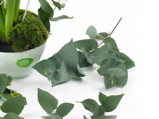 eucalypthus-groen-losse-bloemen-beeld--mooiwatplantendoen
