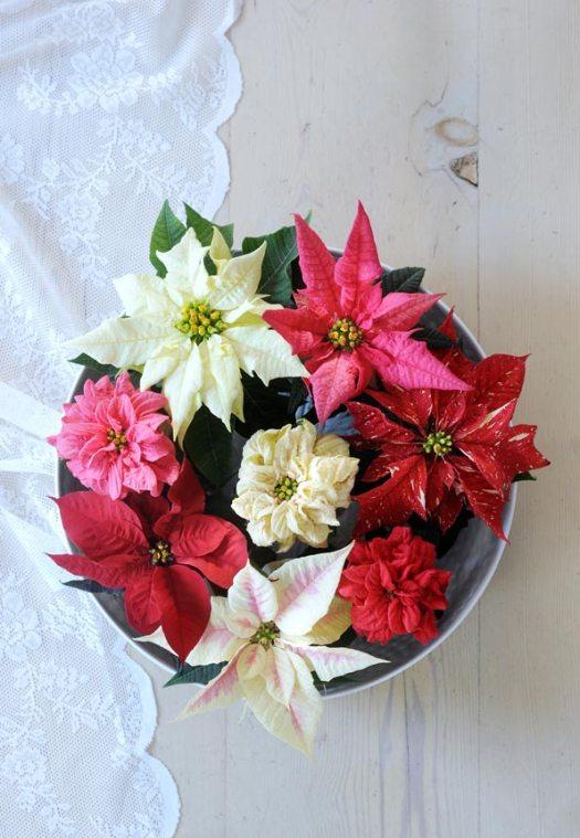 kerststerren-beeld-mooiwatbloemendoen-losse-bloemen-bloemenblog-planten-kerststerren-