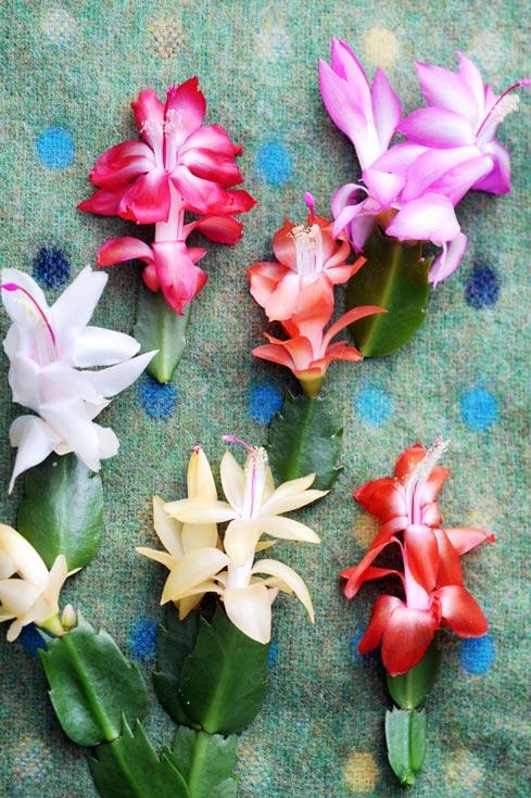 lidcactus-beeld-mooiwatbloemendoen-bloemknopjes-plant