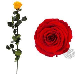 roseamor-op-steel-rood-rode-roos-preserved-roses-magische-beauty-and-the-beast-roos-losse-bloemen