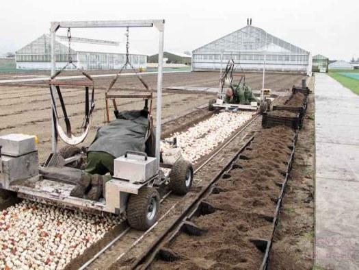 tulpen bearflowers losse bloemen lossebloemen.nl tulpen veld Dutch tulips tulipa tulpenbollen hoe
