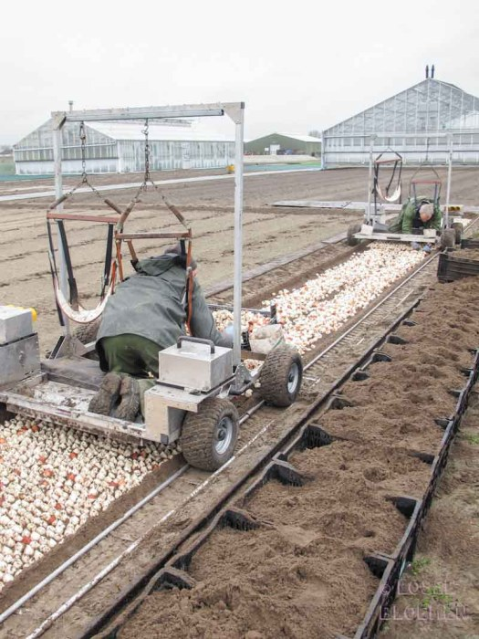 tulpen veld bearflowers losse bloemen lossebloemen.nl tulpen veld Dutch tulips tulipa tulpenbollen hoe