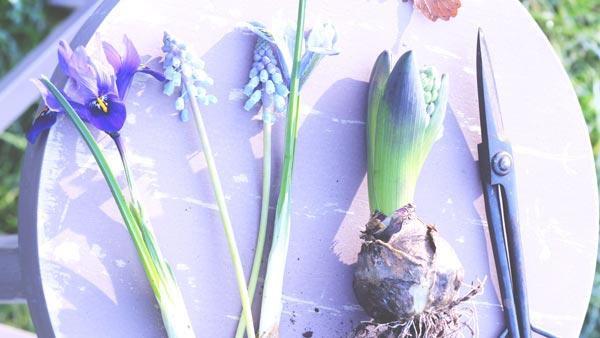 voorjaarsbollen_hyacint_en_blauw_druifje en iris beeld mooiwatbloemendoen.nl blauwe en paarse bloemen