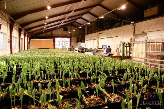 Martin Braas lossebloemen blog tulpen kweken tulpen broeien watertulpen binnenkijker in de kas