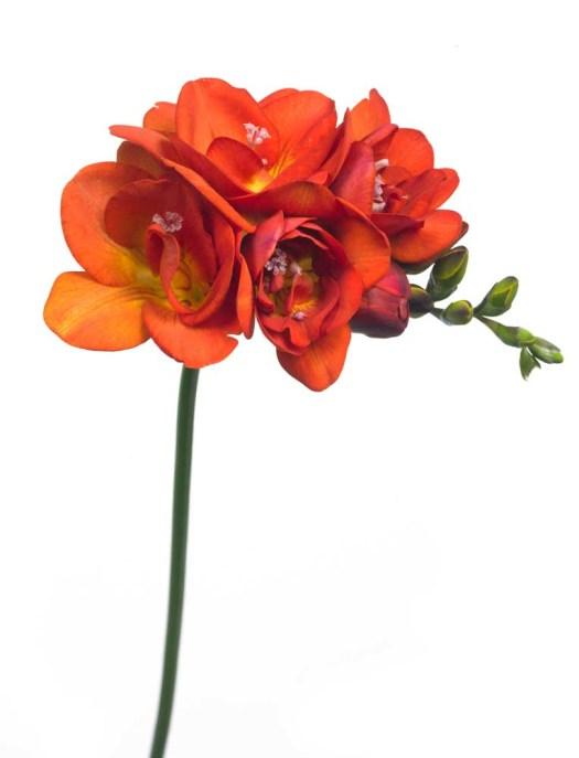Oranje koningsdagbloemen foto- mooiwatbloemendoen.nl op losse bloemen blog Freesia