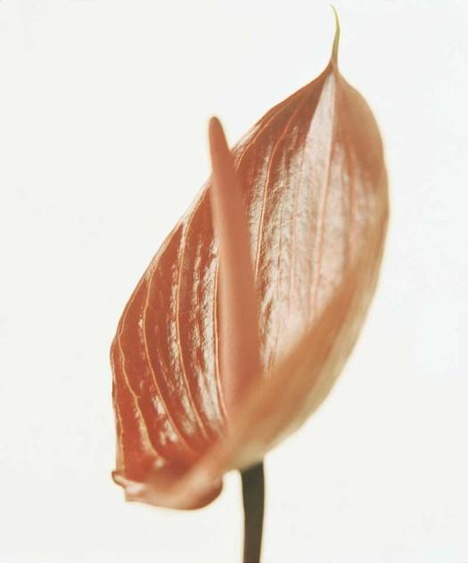 Oranje koningsdagbloemen foto- mooiwatbloemendoen.nl op losse bloemen blog Anthurium